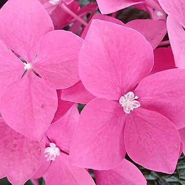 Full shot of pink hydrangeas by designer437