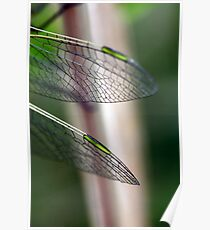 Variegated Meadowhawk, Immature Female, Wing Tips Poster