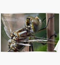 Variegated Meadowhawk, Immature Female, Portrait 2 Poster
