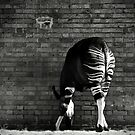 Okapi by Didi Bingham