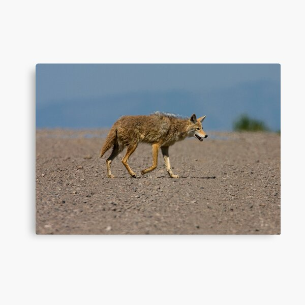 Lonesome Coyote Canvas Print