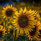 Sunflower by Roberto Pagani