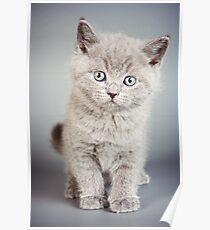 cute fluffy grey kitten Poster
