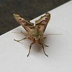 Brown Moth, Head-On by lezvee