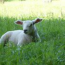 Lamb season by Tony Blakie