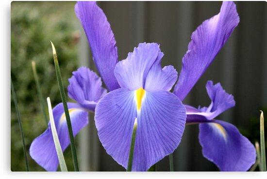 Blue Iris by Leanne Allen