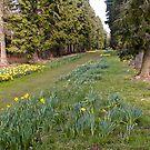 Daffodill Path by Trevor Kersley