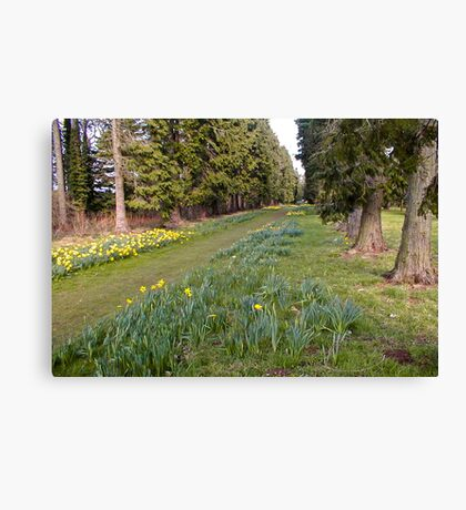 Daffodill Path Canvas Print