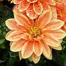 Orange dahlia by Agnes McGuinness