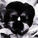 Black Pansy by DDLeach