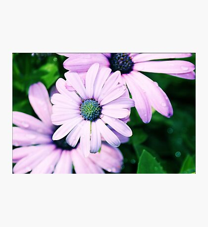 Dewdrop Daisies Photographic Print