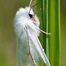 Yellow Woolly Bear Moth  by DigitallyStill
