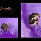 Weevils by DigitallyStill