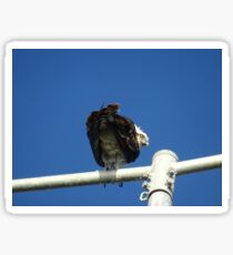 Osprey - Cottesloe - predator with attitude Sticker