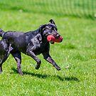 Black labrador at Gun dog trials by Dave  Knowles