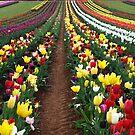 Tulips in the Dandenong Ranges,  Australia by Bev Pascoe