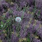 Wild Salsify in Purple by Wayne King