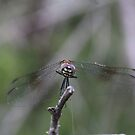 Cutest Dragonfly by PicNick