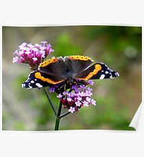 feeding red admiral Poster