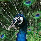 Peacock Portrait by LumixFZ28