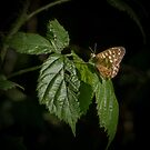 Speckled Wood Butterfly on Bramble by M G  Pettett