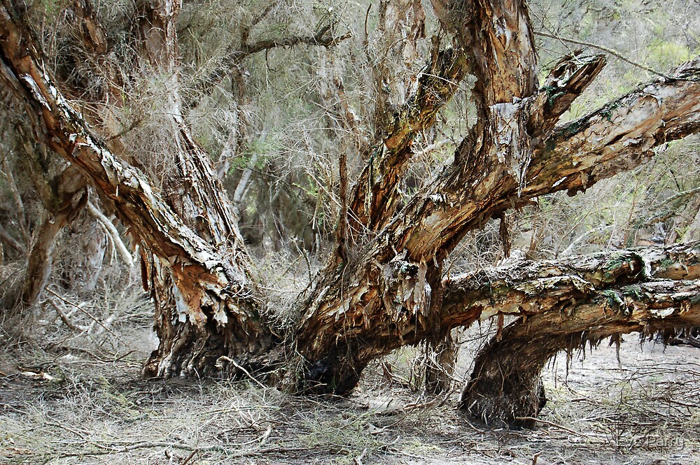 Swamp Paperbark Tree by Eve Parry