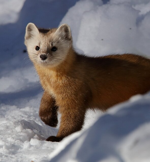 Pine Marten by Todd Weeks