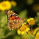 Painted Lady On Common Fleabane by Robert Abraham