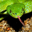 Emerald Palm Viper by MyFrogCroaked