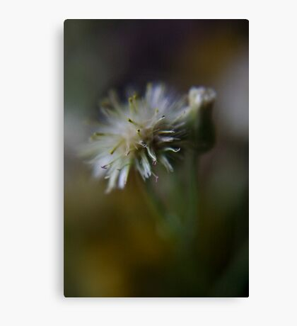 Simplicity (from wild flowers collection)  Canvas Print