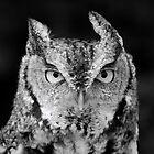 Sreech Owl Stare Black and White by richardbryce