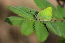 Green hairstreak by Jo Nijenhuis