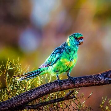 Mallee Ringneck Parrot by RayW