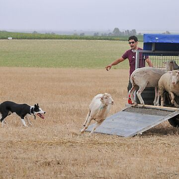 Sheepdog herds sheep into a wagon A set of six images  by PhotoStock-Isra