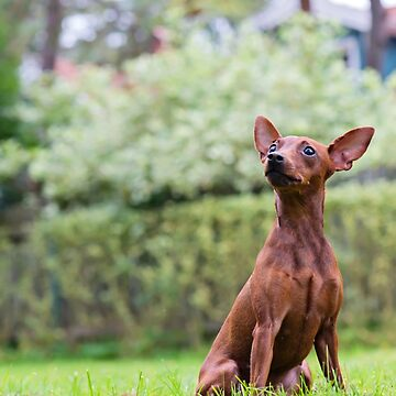 Outdoor portrait of a red miniature pinscher dog sitting on grass by anytka