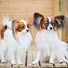 Outdoor portrait of a papillon purebreed dogs by anytka