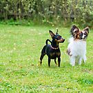 Outdoor portrait of a miniature pinscher and papillon purebreed dogs on the grass by anytka