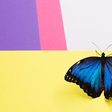 Morpho butterfly sitting on the colored background by anytka