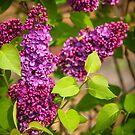 Purple Lilac by Danielasphotos