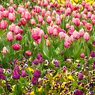 Purple and pink tulips in Canberra in Spring by Danielasphotos