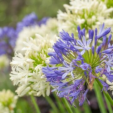 Striking Blue and White Agapanthus Flowers by Danielasphotos