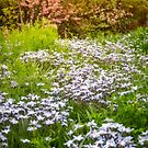 Blooming trees and meadows with white flowers at Floriade in Canberra by Danielasphotos