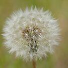 Dandelion by Andrew Trevor-Jones