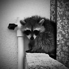 Raccoon by misimichu