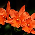 Three Orange Orchids by cclaude