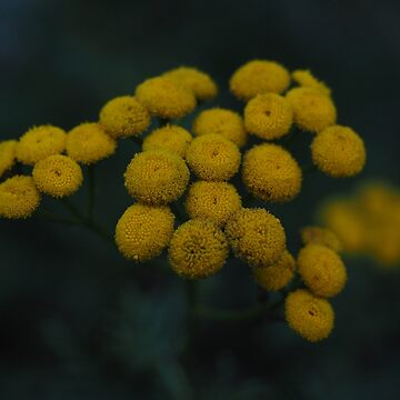 Yellow flowers in darkness by franceslewis