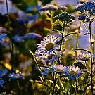 Glowing Daisy  by LudaNayvelt