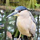 Black Crowned Night Heron by Dawne Dunton