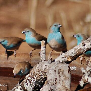 GETTING TOGETHER - BLUE WAXBILL – Uraeginthus angolensis by mags