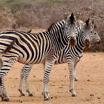 TWO OR THREE ? -  BURCHELL'S ZEBRA – Equus burchelli – Bontkwagga by mags